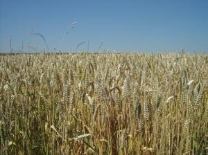 Hauptsächliches Arbeitsfeld des Meierhofes ist der Anbau, die Verarbeitung und Vermarktung alter Getreidesorten